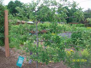 Dwarf Tree Full Size Apples